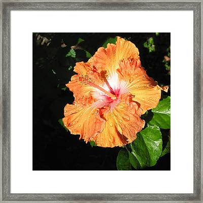 Framed Print featuring the photograph Orange Hibiscus After The Rain 1 by Connie Fox