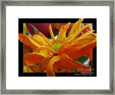 Framed Print featuring the photograph Orange Juice Daisy by Debbie Portwood