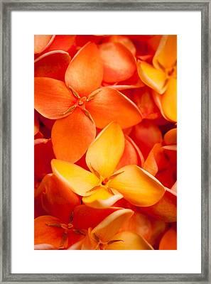 Orange Jungle Flame Flower Framed Print by Johan Larson