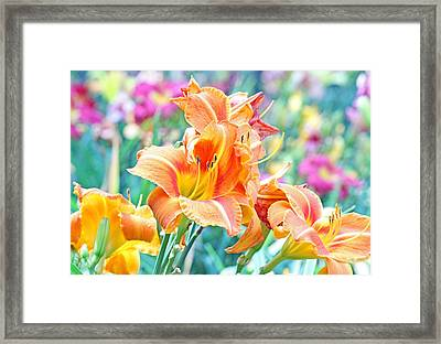 Orange Lilies Framed Print by Becky Lodes