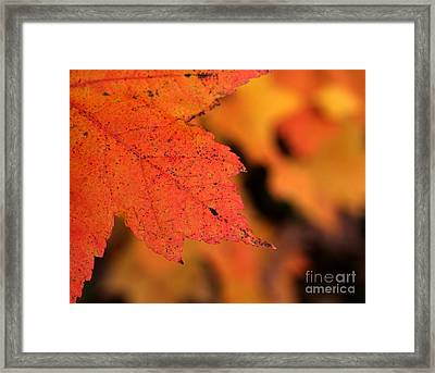 Orange Maple Leaf Framed Print by Chris Hill