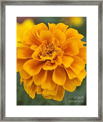 Orange Marigold Framed Print