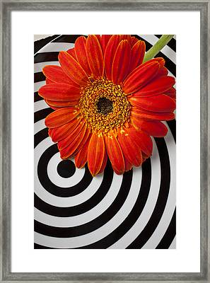 Orange Mum With Circles Framed Print by Garry Gay