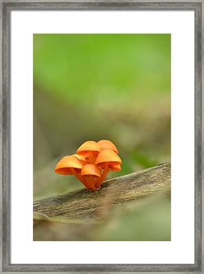 Framed Print featuring the photograph Orange Mushrooms by JD Grimes