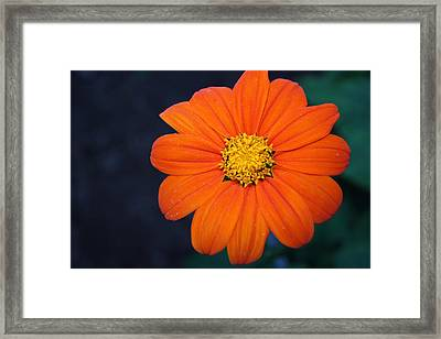 Orange Perfection Framed Print by Devon Stewart