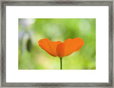 Orange Poppie Framed Print
