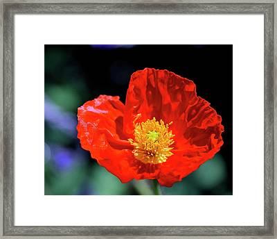 Orange Poppy Framed Print