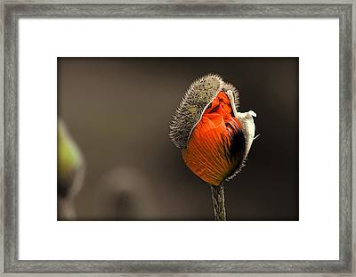 Orange Poppy Framed Print by Kathryn Young