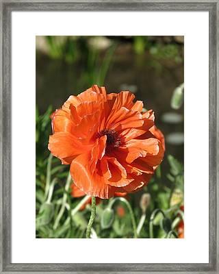 Orange Poppy Framed Print by Rebecca Overton