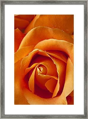 Orange Rose Close Up Framed Print by Garry Gay