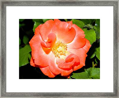 Framed Print featuring the photograph Orange Rose  by Ester  Rogers
