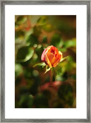 Orange Rosebud Framed Print by Rebecca Sherman