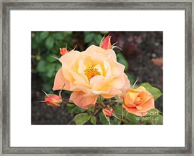 Orange Roses In Oslo Framed Print by Carol Groenen