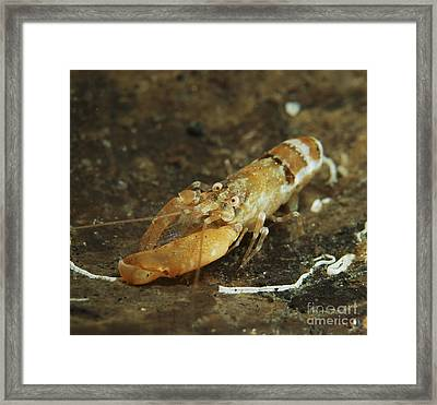 Orange Snapping Shrimp In Coconut Framed Print by Mathieu Meur