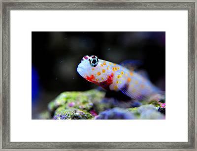 Orange Spotted Shrimp Goby Framed Print by Puzzles Shum