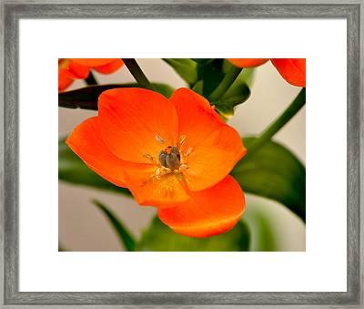 Orange Star   Framed Print by William Jobes