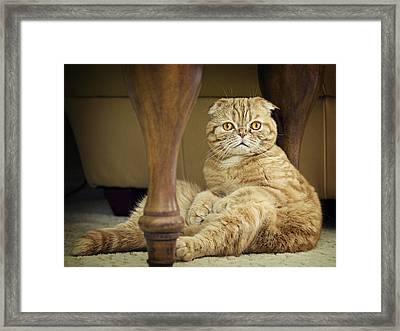 Orange Tabby Cat Framed Print by Sheree Lynn Photography