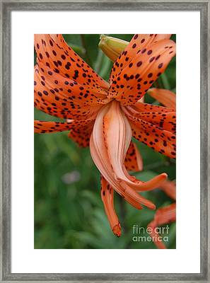 Orange Tiger Lily Framed Print