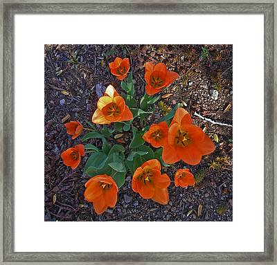 Framed Print featuring the photograph Orange Tulips by David Pantuso