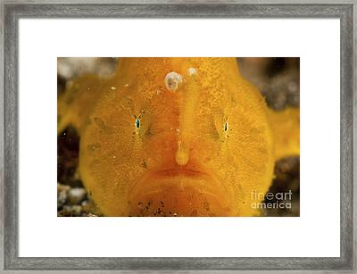 Orange Warty Frogfish, North Sulawesi Framed Print by Mathieu Meur
