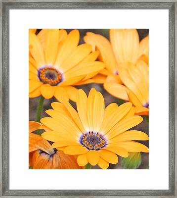 Orange With Purple Center Framed Print by Becky Lodes
