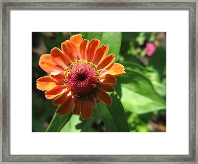 Framed Print featuring the photograph Orange Zinia by Tina M Wenger