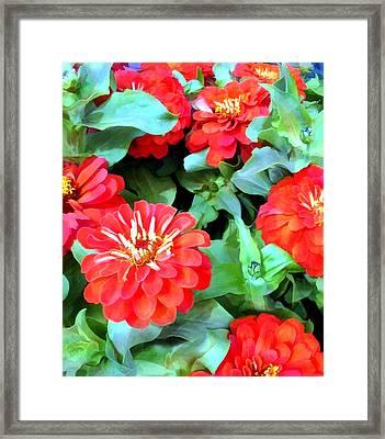 Orange Zinnias Framed Print by Elaine Plesser