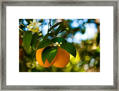 Oranges And Blossoms Framed Print by Dorothy Cunningham