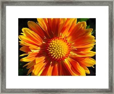 Framed Print featuring the photograph Oranges And Lemons Gaillardia  by Ronda Broatch