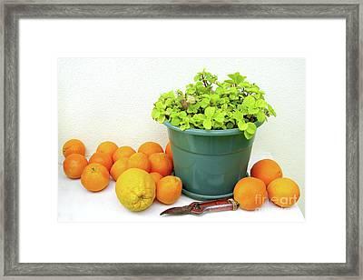 Oranges And Vase Framed Print by Carlos Caetano