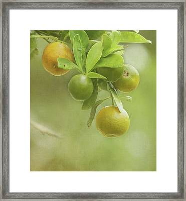 Oranges Growing On Tree Framed Print
