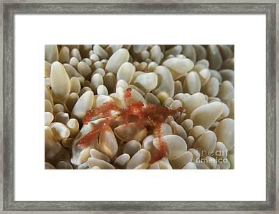 Orangutan Crab On Bubble Coral Framed Print by Todd Winner
