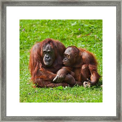 Orangutan Mother And Child Framed Print