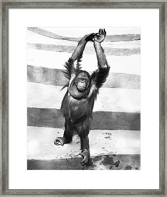 Orangutan W/arms Up Framed Print by George Marks