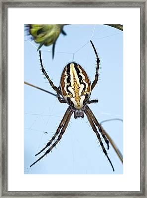 Orb-weaver Spider On Its Web Framed Print