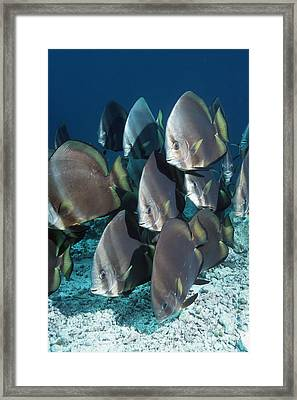 Orbicular Spadefish Framed Print by Georgette Douwma