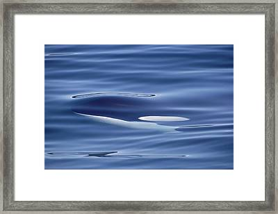 Orca Just Below Water Surface British Framed Print