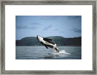 Orca Male Breaching Johnstone Strait Framed Print