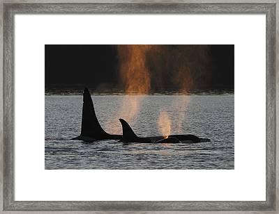 Orca Orcinus Orca Resident Pod Framed Print by Hiroya Minakuchi