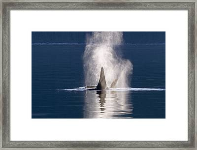 Orca Pair Spouting Southeast Alaska Framed Print by Flip Nicklin
