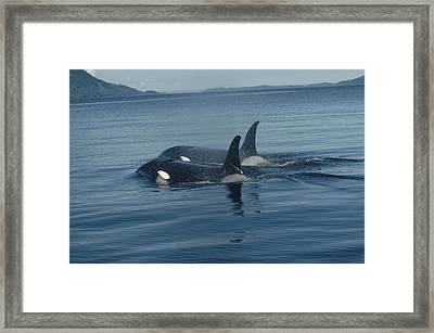 Orca Pair Surfacing British Columbia Framed Print by Flip Nicklin