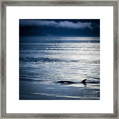 Orca Surfacing Framed Print by Darcy Michaelchuk