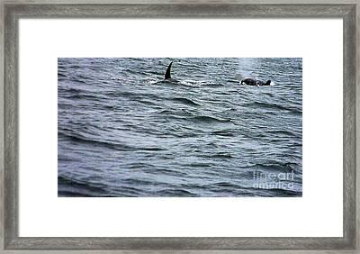 Orca Whales Framed Print by Derek Swift