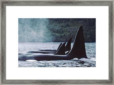 Orcas At Rest  Johnstone Strait British Framed Print by Flip Nicklin