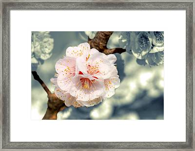Orchard Of Apricot Trees Framed Print by Alain Cachat