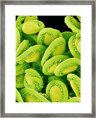 Orchic Cactus Ovules, Sem Framed Print
