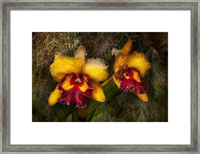 Orchid - Cattleya - Dripping With Passion  Framed Print