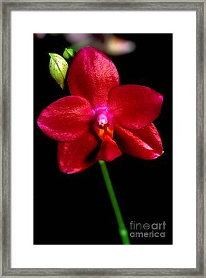 Orchid 59 Framed Print by Terry Elniski