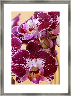 Orchid Blooms Framed Print by Carmen Del Valle