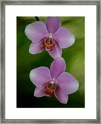 Orchid Delight Framed Print